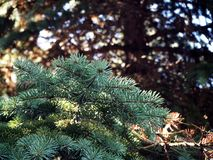 Ветвь рождественской елки в лесе стоковое фото rf