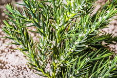 Ветвь рождественской елки с частями пластмассы пены любит снег Стоковое фото RF