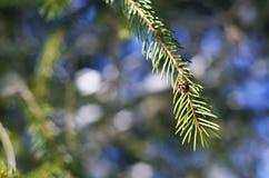 Ветвь рождественской елки Стоковое Фото