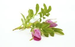 Ветвь Роза на белизне Стоковые Фотографии RF