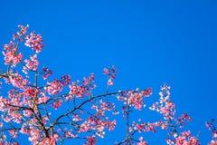 Ветвь розового вишневого цвета цветка Сакуры Стоковое фото RF
