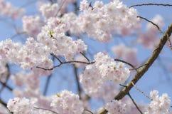 Ветвь розового одичалого гималайского вишневого цвета, дерева Сакуры Стоковая Фотография