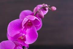 Ветвь розовой орхидеи Стоковое Изображение RF