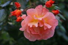 Ветвь роз в бутоне стоковая фотография