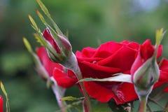 Ветвь роз стоковое фото