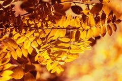 Ветвь рябины в солнце вечера Стоковое Фото