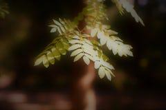 Ветвь рябины в теплом зеленом цвете стоковая фотография