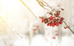 Ветвь рябины с красными ягодами Концепция предпосылки зимы сезонно Christmass и Нового Года Фото Конца-вверх стоковые изображения rf