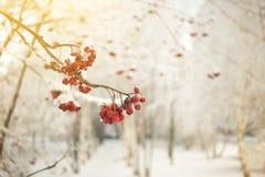 Ветвь рябины с красными ягодами Концепция предпосылки зимы сезонно Christmass и Нового Года Фото Конца-вверх стоковое изображение