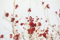 Ветвь рябины с красными ягодами Концепция предпосылки зимы сезонно Christmass и Нового Года Фото Конца-вверх стоковое фото rf