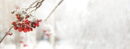 Ветвь рябины с красными ягодами Концепция предпосылки зимы сезонно Christmass и Нового Года Фото Конца-вверх стоковое изображение rf