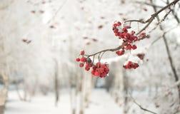 Ветвь рябины с красными ягодами Концепция предпосылки зимы сезонно Christmass и Нового Года Фото Конца-вверх стоковые фотографии rf