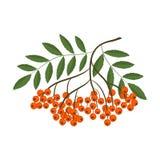 Ветвь рябины с оранжевыми ягодами и листьями зеленого цвета Стоковое Изображение
