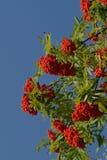 Ветвь рябины с ягодами Стоковое Фото