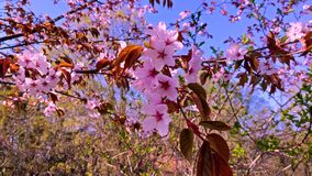 Ветвь Сакуры пошатывая в конце-вверх ветра Весна в Японии видеоматериал