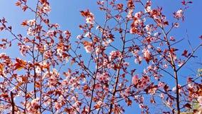 Ветвь Сакуры пошатывая в конце-вверх ветра Весна в Японии акции видеоматериалы