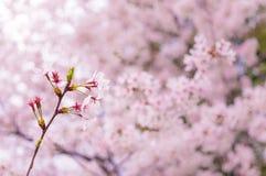 Ветвь Сакуры Стоковое Фото
