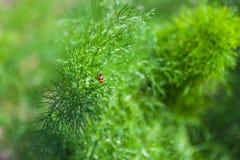 Ветвь свежего зеленого укропа с 2 ladybugs Стоковые Фото