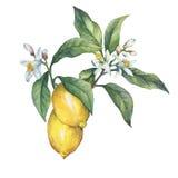 Ветвь свежего лимона цитрусовых фруктов с листьями и цветками зеленого цвета бесплатная иллюстрация