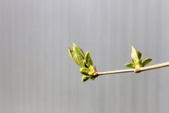 Ветвь сирени с молодыми листьями стоковое изображение