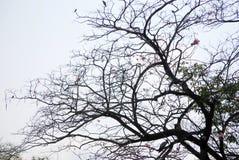 Ветвь силуэта tabebuia Стоковые Изображения RF