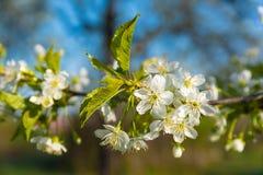 Ветвь сливы зацветая Стоковая Фотография RF