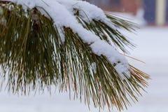 ветвь сосенки в снежке Заход солнца зимы в пуще Стоковые Изображения RF