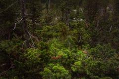 Ветвь сосны в лесе горы Стоковая Фотография