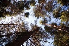 Ветвь сосны в лесе лета Стоковое Фото