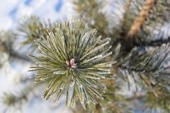 Ветвь сосны в заморозке зимы стоковое фото