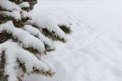 Ветвь сосны в зиме на фоне снега стоковые изображения