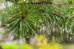 Ветвь сосны в осени Стоковая Фотография