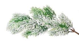 Ветвь сосны в снеге изолированном на белизне Стоковые Изображения