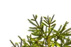 Ветвь сосны над белой изолированной предпосылкой, Стоковое Изображение