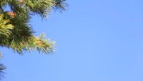 Ветвь сосны на голубом небе сток-видео