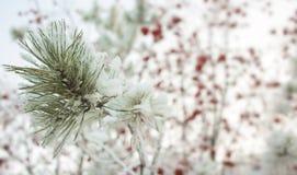 Ветвь сосны на предпосылке дерева рябины Сезонно концепция предпосылки зимы Christmass Фото Конца-вверх стоковое изображение rf