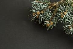 Ветвь сосны на черной предпосылке с космосом экземпляра для новой Стоковая Фотография