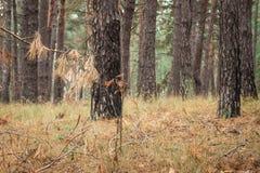 Ветвь сосны осени с иглами на предпосылке хоботов высоких деревьев Стоковое фото RF