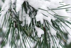 Ветвь сосны под снегом Стоковое фото RF