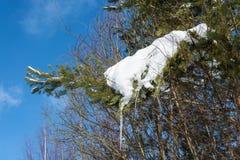 Ветвь сосны покрытая с снегом с сосульками Стоковое Фото