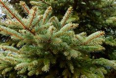 Ветвь сосны рождество моя версия вектора вала портфолио вал ели ветви близкий вверх стоковая фотография