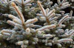 Ветвь сосны рождество моя версия вектора вала портфолио вал ели ветви близкий вверх стоковое фото