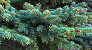 Ветвь сосны рождество моя версия вектора вала портфолио вал ели ветви близкий вверх стоковое фото rf