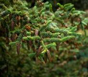 Ветвь сосны с ель-конусами Стоковые Фотографии RF
