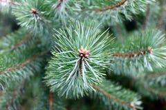 Ветвь сосны с зеленым концом-вверх игл Стоковые Изображения RF