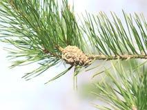 Ветвь сосны с конусом сосны стоковая фотография rf