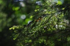 Ветвь сосны Стоковые Фотографии RF