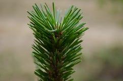 Ветвь сосны Стоковые Фото