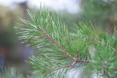 Ветвь сосны Стоковые Изображения RF