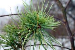 Ветвь сосны Стоковые Изображения
